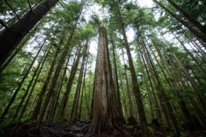 Old Growth Trees